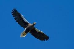 Steller Sea Eagle Stock Photo