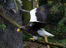 Free Steller Sea Eagle In Flight Royalty Free Stock Photos - 69691778