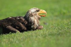 Steller sea eagle Royalty Free Stock Photo