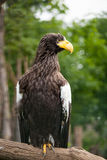 Steller sea-eagle Stock Photo