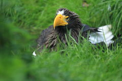 Steller sea eagle Stock Photo