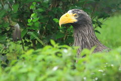 Steller sea eagle Royalty Free Stock Image