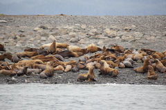Steller sea lion in alaska Eumetopias jubatus Stock Photos