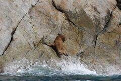 Steller sea lion Eumetopias jubata Royalty Free Stock Photo
