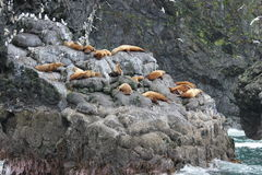 Steller sea lion Eumetopias jubata Royalty Free Stock Image