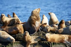 Free Steller Sea Lion Eumetopias Jubatus Stock Photography - 133590422