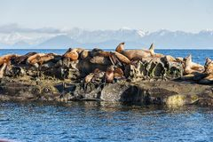 Free Steller Sea Lion Eumetopias Jubatus Basking On A Rock Stock Photo - 133590520