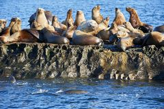 Steller Sea Lion Eumetopias Jubatus Colony Royalty Free Stock Image