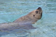 Steller Sea Lion in water Stock Photography