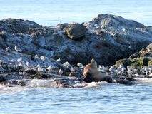 Steller Sea Lion with Gulls Stock Images