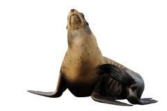 Steller sea lion isolated on white Stock Photo
