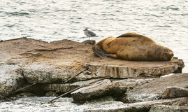 Steller sea lion at resting on rocks. And seagull Stock Photo