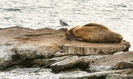 Steller sea lion at resting on rocks Stock Photo