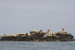 Steller sea lion rookery on cliffs of the island in the Pacific Stock Images