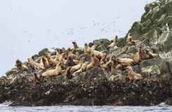Free Steller Sea Lion Rookery On Cliffs Of The Island Stock Image - 53325341