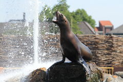 Steller sea lion Royalty Free Stock Photography