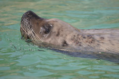 Steller Sea Lion swimming Stock Photography