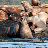 Steller Sea Lions Stock Photo