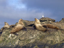 Steller Sea Lions. Group of Steller Sea Lions sharing their rock with a Seagull and flock of Shorebirds Stock Photos
