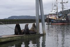 Steller sea lions haul out on pier. By a fishing boats harbour royalty free stock photo