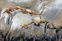 Free Steller Sea Lions On An Island In Kenai Fjords National Park In Alaska Royalty Free Stock Photos - 108684458
