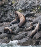 Steller Sea Lions Stock Photography