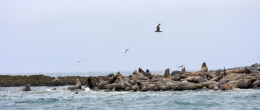 Steller Sea lions and Seagulls Royalty Free Stock Photos