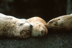 Steller Sea Lions Sleeping Together Stock Photo
