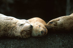 Steller sea lions sleeping together (Eumetopias jubatus), Alaska Royalty Free Stock Photo