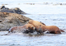Steller sjölejon som slåss på, vaggar, loppet vaggar Marine Reserve, Victoria, B C , Kanada Royaltyfri Fotografi