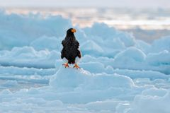 Stellerl ` s海鹰, Haliaeetus pelagicus,与抓住鱼的鸟,与白色雪,萨哈林岛,俄罗斯 在冰的老鹰 冬天日本wi 免版税库存照片