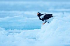 Stellerl-` s Seeadler, Haliaeetus pelagicus, Vogel mit Fangfischen, mit weißem Schnee, Hokkaido, Japan Eagle auf Eis Winter-Japan Stockfotografie