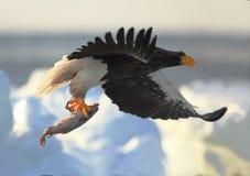 Stellers与掠夺物的海鹰 库存图片