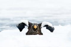 Stellers海鹰,飞行的鸷,与蓝色海水,北海道,日本 免版税库存图片