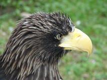 Stellers海鹰 免版税图库摄影