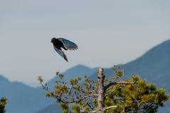 Stellers Eichelhäher auf Baum in der Natur mit Gebirgshintergrund lizenzfreie stockfotos
