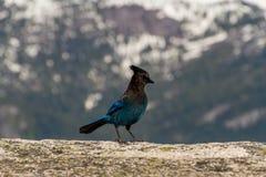 Stellers Eichelhäher auf Felsen in der Natur mit Gebirgshintergrund stockfotografie