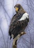 Stellers Hav-Eagle som sätta sig i ett träd Royaltyfria Bilder