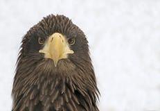 Stellers hav Eagle vänder mot - - framsidan Arkivfoton