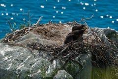 Stellers havsörn fotografering för bildbyråer
