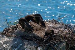 Stellers havsörn arkivfoton