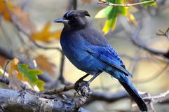 Stellers Jay on Branch. Colorful blue Stellers Jay perched on branch of tree during Autumn season Royalty Free Stock Image
