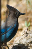 Stellers Jay Stock Photography