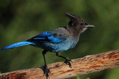 Stellers Jay (Cyanocitta stelleri) on a perch Stock Photos
