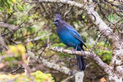 Stellers jay Cyanocitta stelleri. Steller`s jay Cyanocitta stelleri in Ucluelet, British Columbia, Canada Royalty Free Stock Images