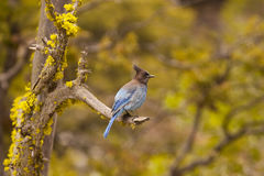 Stellers jay / Cyanocitta stelleri in Yosemite National Park Stock Photo