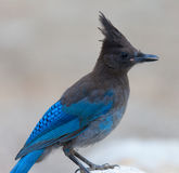 Stellers Jay Stock Image