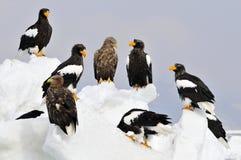 Stellers Mar-Eagle y Eagle Blanco-atado, en Z de Steller-zeearend fotografía de archivo