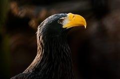 Stellers Meer Eagle (Haliaeetus pelagicus) Lizenzfreies Stockfoto