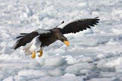 Stellers Meeres-Eagle, Steller-zeearend, Haliaeetus pelagicus stockfotos